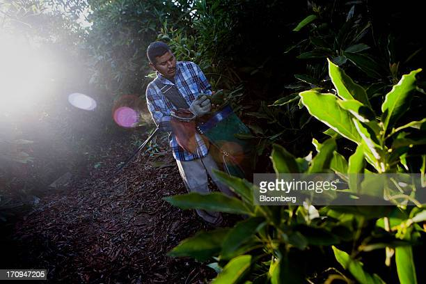 A worker harvests avocados for Mission Produce Inc at Rancho Oro Verde in San Diego California US on Thursday June 20 2013 May farm prices advanced...