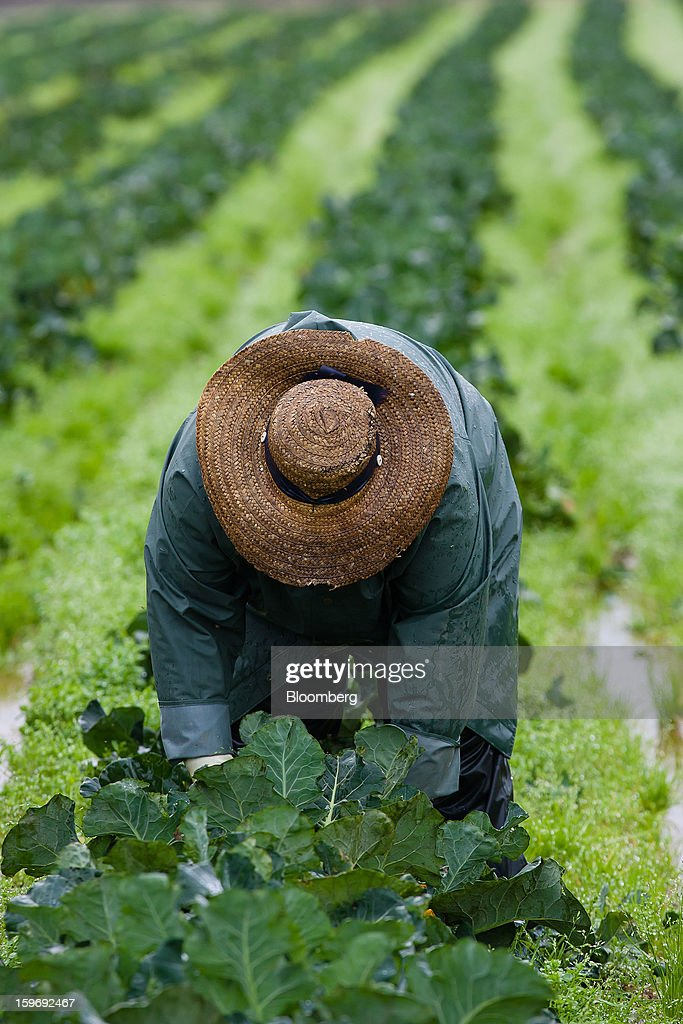 A worker harvests broccoli plants from a field at the Monliz-Produtos Alimentares do Mondego e Liz SA frozen food factory in Alpiarca, Portugal, on Friday, Jan. 18, 2013. Portuguese Prime Minister Pedro Passos Coelho says he does not want Portugal to get a second rescue program. Photographer: Mario Proenca/Bloomberg via Getty Images