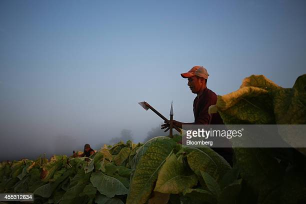 A worker harvests Burley tobacco at Tucker Farms in Shelbyville Kentucky US on Friday Sept 5 2014 Tobacco crop production in Kentucky the...