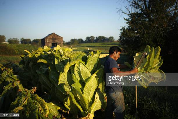 A worker harvests burley tobacco leaves grown by Tucker Farms in Finchville Kentucky US on Tuesday Sept 26 2017 Kentucky crop production is set to...