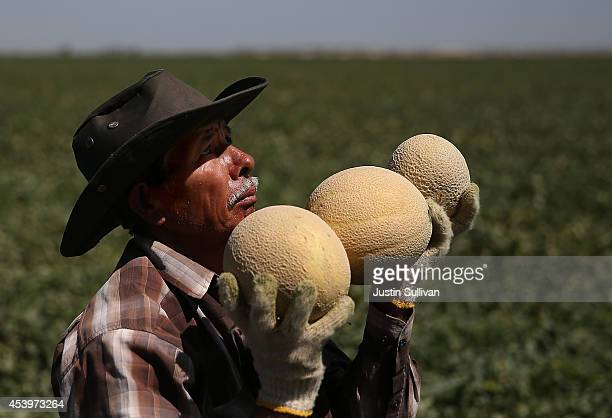 A worker harvests cantaloupes on a farm on August 22 2014 near Firebaugh California As the severe California drought continues for a third straight...
