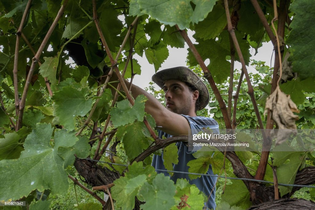 A worker harvests grapes for Prosecco at the Siro Merotto vineyard on September 11, 2017 in Treviso, Italy. According to Coldiretti, the Italian agricultural lobby, British buyers drank 40 million liters of Prosecco in 2016 and spent more than 350 million euros on it, representing approximately 30% market growth for the year.