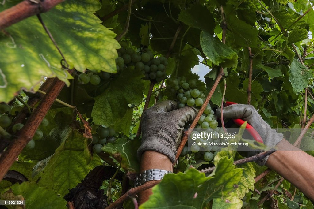 A worker harvests grapes for Prosecco in a vineyard on September 11, 2017 in Treviso, Italy. According to Coldiretti, the Italian agricultural lobby, British buyers drank 40 million liters of Prosecco in 2016 and spent more than 350 million euros on it, representing approximately 30% market growth for the year.