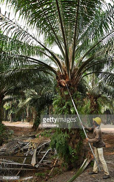A worker harvests oil palm fruit at the Bell Eco Power Sdn palm oil plantation in Batu Pahat Johor Malaysia on Monday March 3 2014 Palm oil gained...