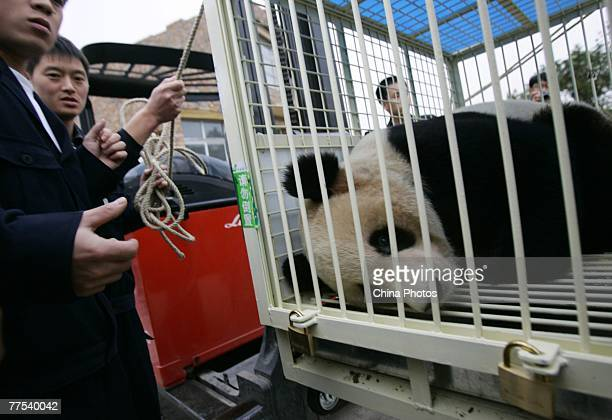A worker helps to attach a cage containing one of a pair of twin giant pandas onto a forklift at the Chengdu Research Base of Giant Panda Breeding on...