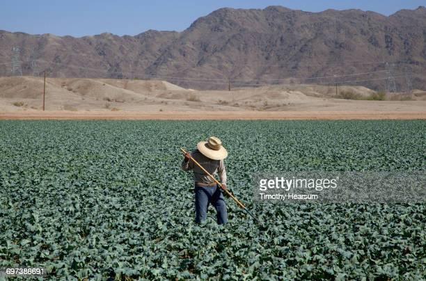 Worker hoeing between rows of broccoli plants