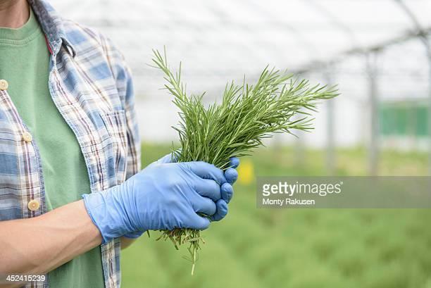 Worker holding fresh rosemary