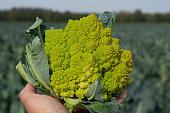 Worker holding in hand ripe green Romanesco broccoli or Roman cauliflower, Broccolo Romanesco, Romanesque cauliflower, new harvest, close up