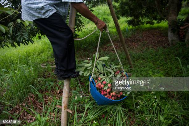 A worker holds a basket of harvested lychees while standing on a ladder at an orchard in the Chai Prakan district of Chiang Mai province Thailand on...