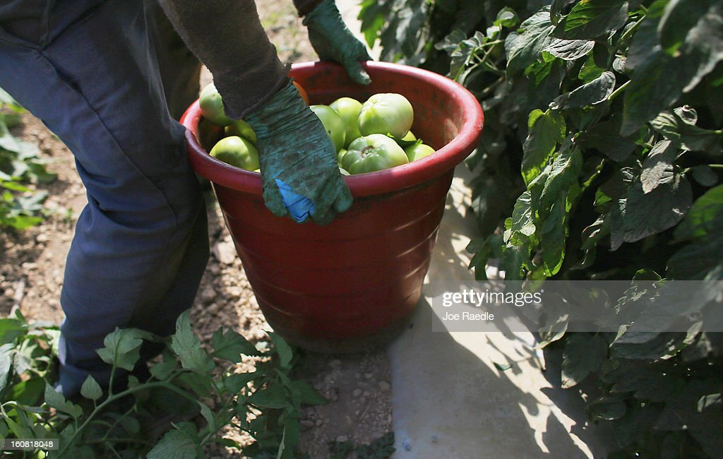 A worker holds a bucket of tomatoes as he harvests them in the fields of DiMare Farms on February 6, 2013 in Florida City, Florida. The United States government and Mexico reached a tentative agreement that would go into effect around March 4th, on cross-border trade in tomatoes, providing help for the Florida growers who said the Mexican tomato growers were dumping their product on the U.S. markets.