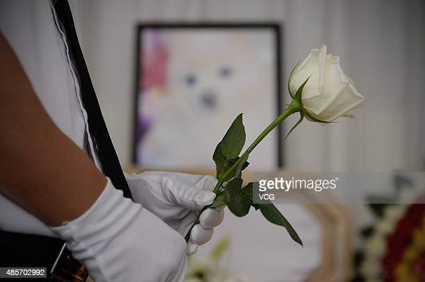 A worker holds a flower for a deceased dog's farewell ceremony during it's funeral bought online with 8000 RMB on August 29 2015 in Shanghai China...