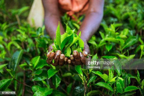 A worker holds a handful of freshly picked tea leaves for a photograph at the Geragama Tea Estate operated by Pussellawa Plantations Ltd in...