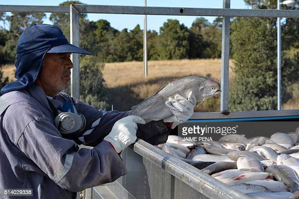 A worker holds a salmon as the fish are loaded onto a truck at the Fiordo Austral company in Calbuco near Puerto Montt Chile on March 5 2016 The...