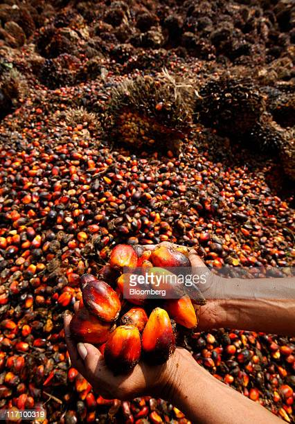 A worker holds harvested oil palm fruit for a photograph at the PT Perkebunan Nusantara plantation and production factory in Kertajaya Banten...