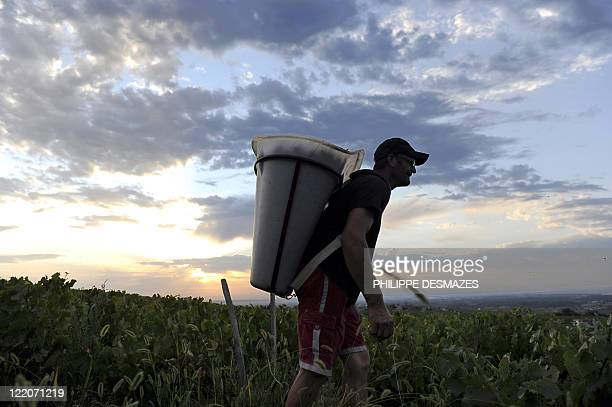 A worker holds his container of grapes as the sun rises early on August 23 2011 in the 'Moulin à Vent' vineyard near Chenas Beaujolais southeastern...