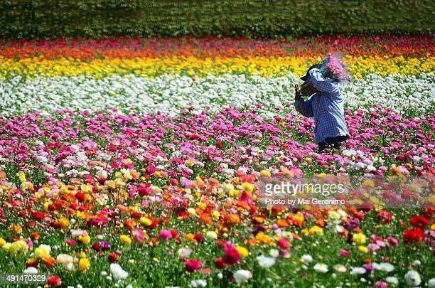 Worker in a sea of Ranunculus.
