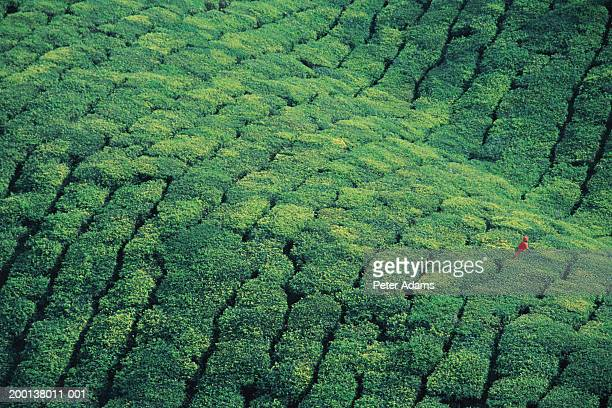 Worker in tea plantation, aerial view