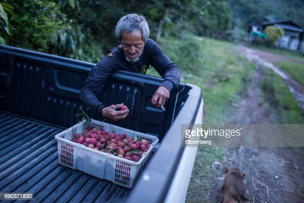 A worker inspects harvested lychees in a crate sitting on the back of a pickup truck at an orchard in the Chai Prakan district of Chiang Mai province...