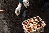 Worker is planting tulip bulbs in the soil in the flowerbed, gardening  and agriculture concept