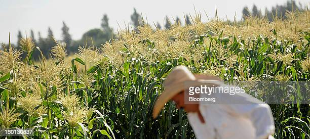 Worker Javier Alcantar tends to corn crops at the Monsanto Co test field in Woodland California US on Friday Aug 10 2012 Monsanto Co an American...