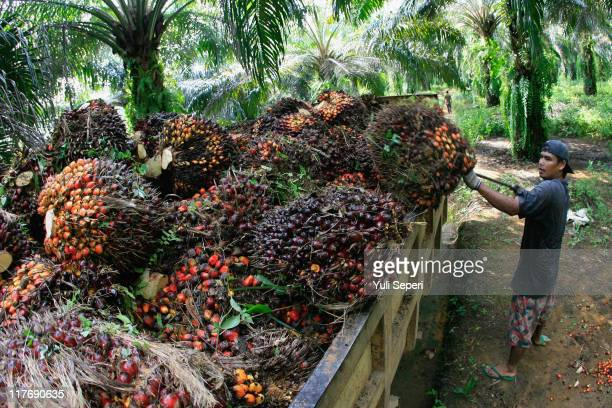 A worker loads a truck with newly harvested oil palm fruit for Crude Palm Oil on June 24 2011 in Bintan Indonesia on June 24 2011 in Bintan Island...