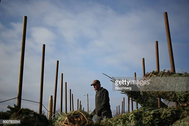 A worker loads freshly harvested Douglas Fir Christmas trees into a truck at Brown's Tree Farm in Muncy Pennsylvania US on Tuesday Dec 8 2015 October...