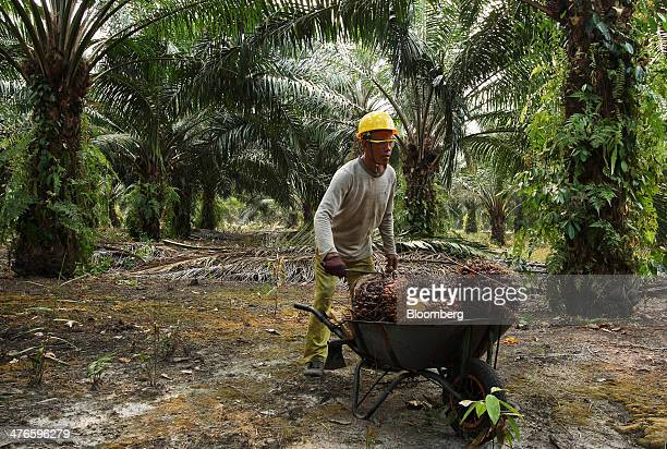 A worker loads harvested oil palm fruit into a wheelbarrow at the Bell Eco Power Sdn palm oil plantation in Batu Pahat Johor Malaysia on Monday March...