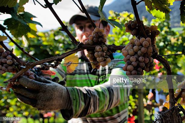 A worker manually harvests Riesling grapes in the Abbey vineyards at the Abbazia di Novacella on October 13 2010 in Varna Italy Abbazia di Novacella...