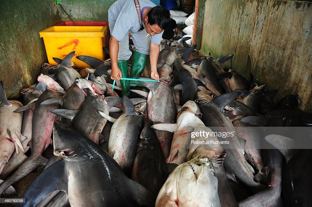 A worker measures the sharks fin length at Muncar Port on May 25, 2014 in Banyuwangi, Indonesia. Indonesia has become one of the major exporters of meat and shark fins in the world, producing 640 thousand tons per year. The Indonesian government is tightening regulations for the fishing of sharks and manta rays, which are now included in the list of Appendix II of the Convention on International Trade in Endangered Species (CITES).
