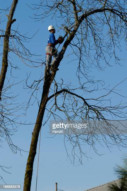 Worker measuring height of tree preparing for tree removal