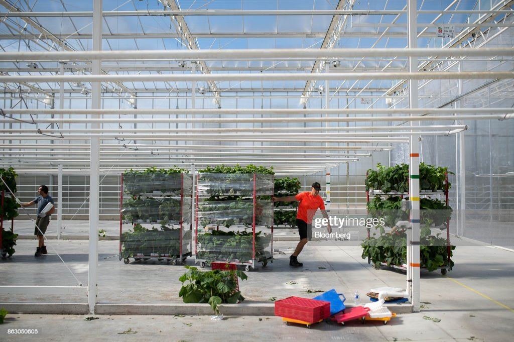 Inside The Roelands Plant Farms Inc. Greenhouse Operation