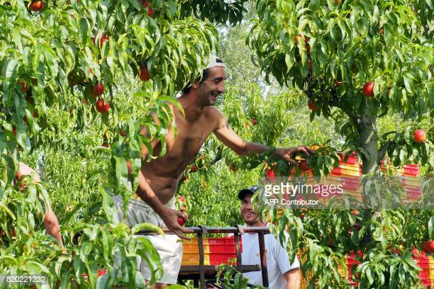 A worker of organic nectarines production picks up nectarines at the field in SaintGenis des Fontaines on July 21 2017 / AFP PHOTO / RAYMOND ROIG