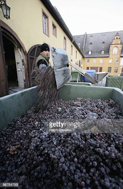 A worker of the winegrowing estate Schloss Vollrads empties a shovel of grapes into a container during the harvest of icewine on January 16 2006 in...