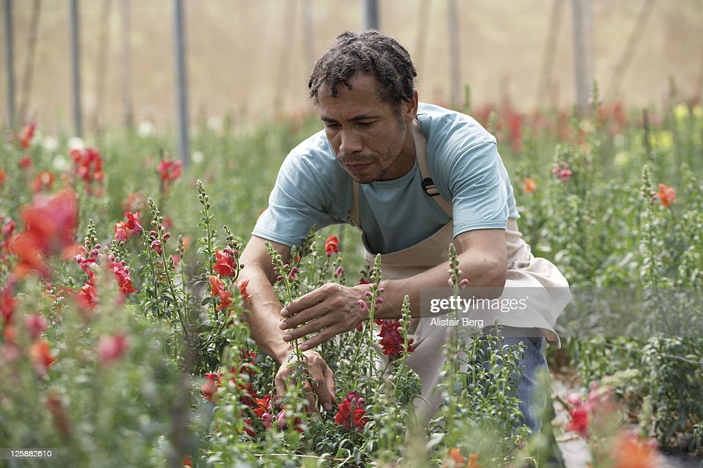 Worker on a flower farm : Stock Photo