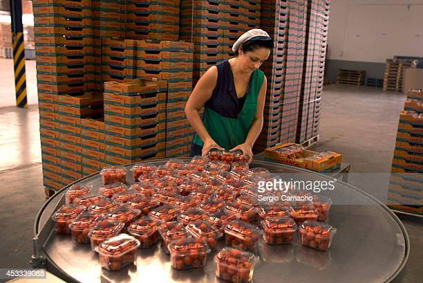 A worker packs cherry tomatoes in an international vegetable distribution factory on August 8 2014 in Motril Spain Russia have announced a ban on the...