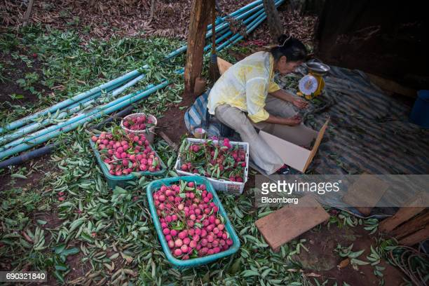A worker packs harvested lychees into a box at an orchard in the Chai Prakan district of Chiang Mai province Thailand on Sunday May 28 2017...