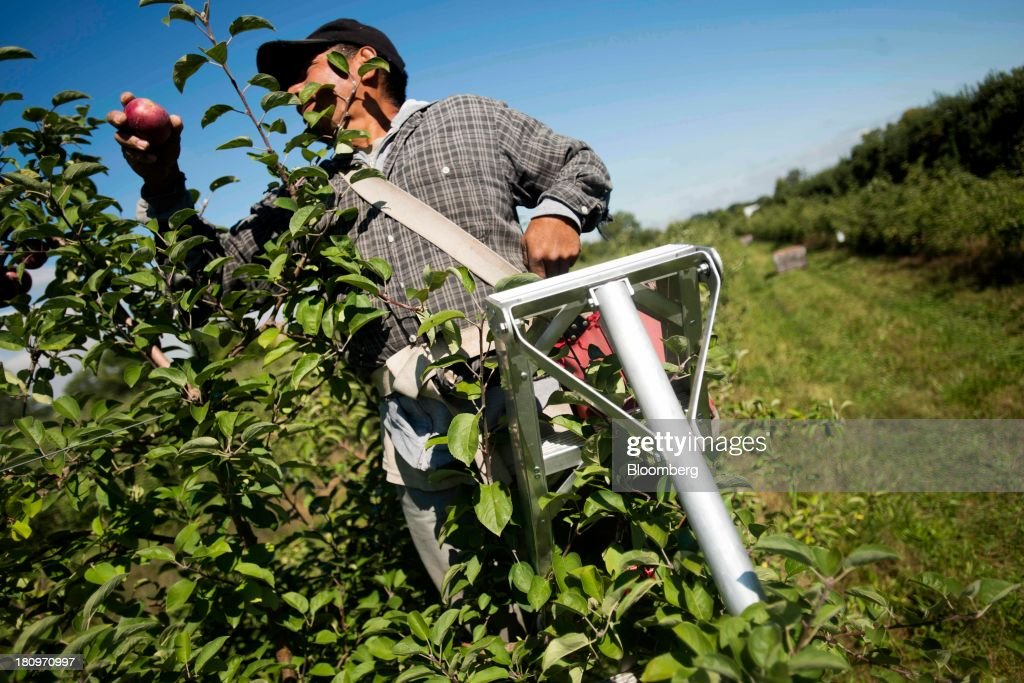 A worker pick apples from a tree in the orchard at MacQueen Orchards in Holland, Ohio, U.S., on Tuesday, Sept. 17, 2013. Ohio is one of the top ten apple-producing states in the U.S., which overall has about 7,500 apple producers who grow nearly 100 varieties of apples on approximately 363,000 acres, according to the U.S. Apple Association. Photographer: Ty Wright/Bloomberg via Getty Images