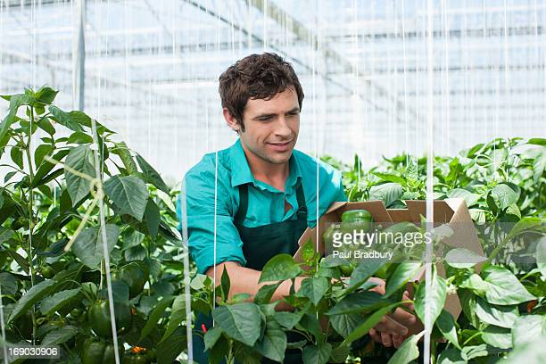 Worker picking produce in greenhouse
