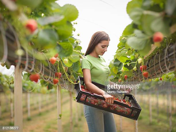 Worker picking strawberries in polytunnel of fruit farm