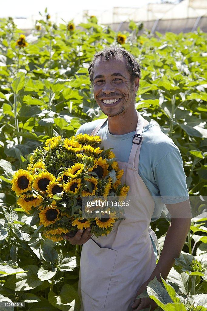 Worker picking sunflowers : Stock Photo