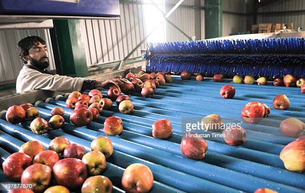 A worker picking up newly harvested apples to pack them in boxes after washing them at Lassipora cold storage on November 19 2015 in Pulwama near...