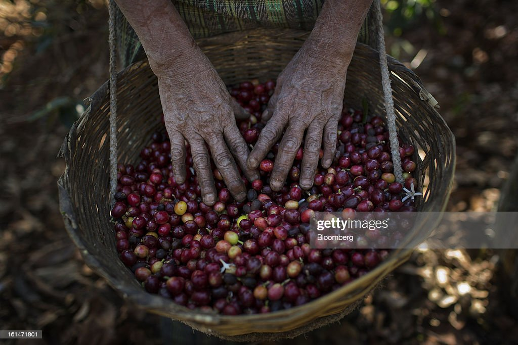 A worker picks coffee beans in an area affected by the roya coffee fungus on the Finca San Isidro Chacaya coffee plantation in Santiago Atitlan, Guatemala, on Friday, Feb. 8, 2013. The Guatemalan National Coffee Association said that rust disease, known as roya in Spanish, will destroy 15 percent of the 2012-2013 harvest and as much as 40 percent of next season's harvest. Photographer: Victor J. Blue/Bloomberg via Getty Images
