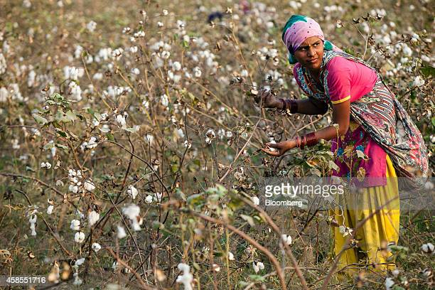 A worker picks cotton on a farm during a harvest in Pilibanga Rajasthan India on Tuesday Nov 4 2014 India may topple China as the world's largest...