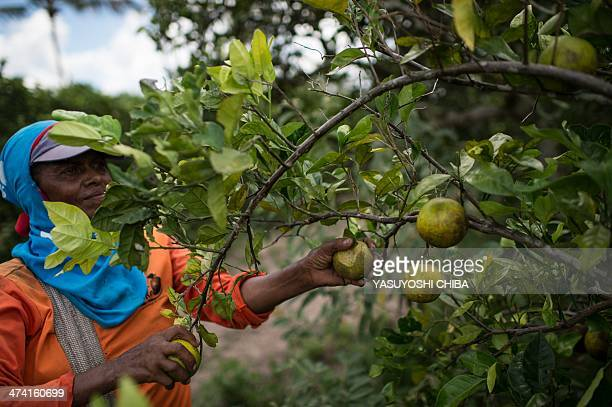 A worker picks oranges in a field to gain 90 centavos per sack in Rio Real about 200 km north from Salvador in Bahia state Brazil on February 18 2014...