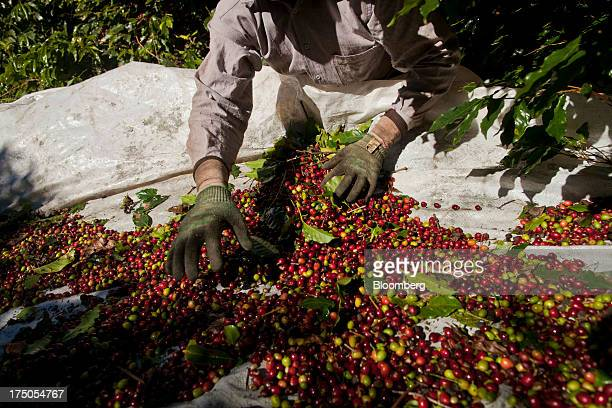 A worker picks the leaves out of a bunch of harvested coffee beans at the Ponto Alegre estate farm in Cabo Verde in the state of Minas Gerais Brazil...