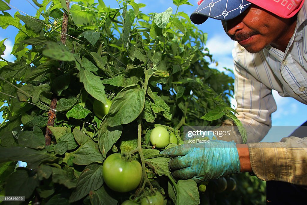 A worker picks tomatoes in the fields of DiMare Farms on February 6, 2013 in Florida City, Florida. The United States government and Mexico reached a tentative agreement that would go into effect around March 4th, on cross-border trade in tomatoes, providing help for the Florida growers who said the Mexican tomato growers were dumping their product on the U.S. markets.