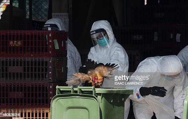 A worker places a chicken in a bin during a cull in Hong Kong on December 31 after the deadly H7N9 virus was discovered in poultry imported from...