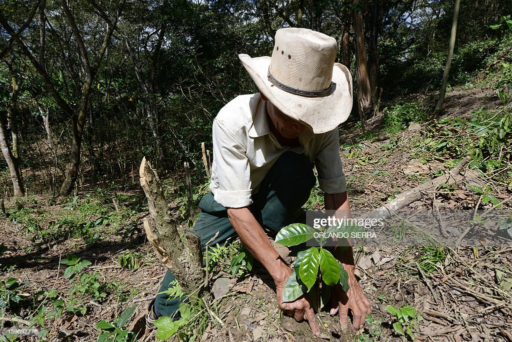 A worker plants a coffee plant, in the department El Paraiso, 110 kms east of Tegucigalpa, on Januray 17, 2013. Central America, one of main producers of the best Arabica Coffee, is analyzing to take measures to combat the plague already threatening more than one third of the bean crop, one of the region's major export item. AFP PHOTO/Orlando SIERRA
