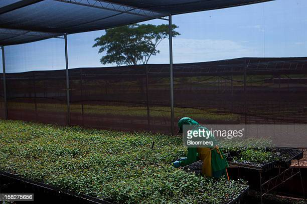 A worker plants eucalyptus at the Eldorado Celulose e Papel SA seedling nursery in Andradina Brazil on Tuesday Dec 11 2012 Eldorado Celulose e Papel...
