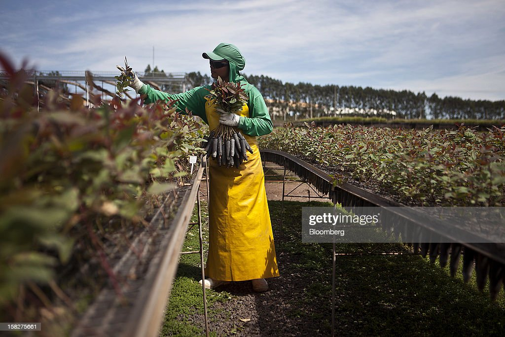 A worker plants eucalyptus at the Eldorado Celulose e Papel S.A seedling nursery in Andradina, Brazil, on Tuesday, Dec. 11, 2012. Eldorado Celulose e Papel S.A is finishing construction on a pulp processing plant that is expected to be one of the the world's largest single-line pulp plants when it reaches peak production. Photographer: Dado Galdieri/Bloomberg via Getty Images